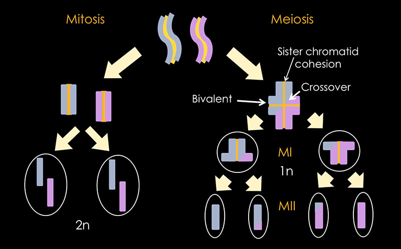 Repairing Chromosome Damaged Sperm
